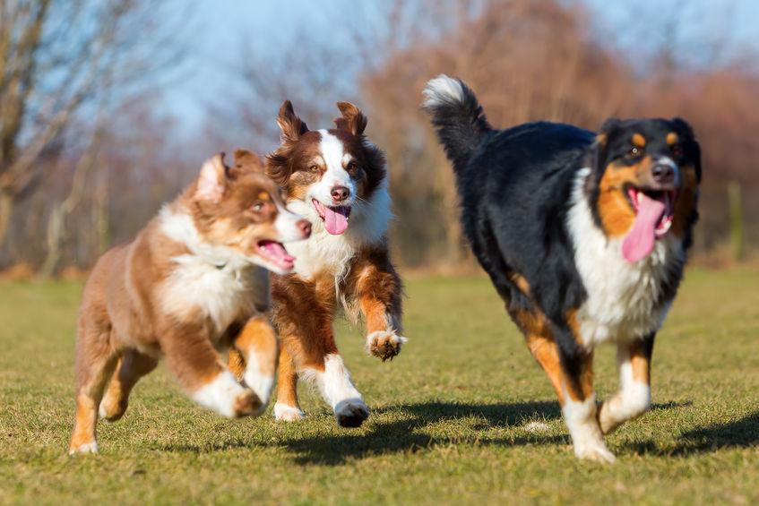 Besoins du chien - Le berger Autralien
