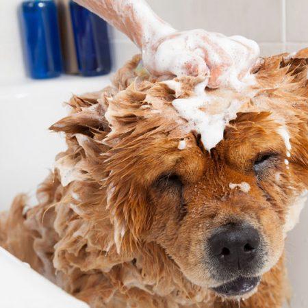 Chien qui sent mauvais dans un bain