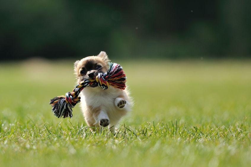 Chihuahua sportif