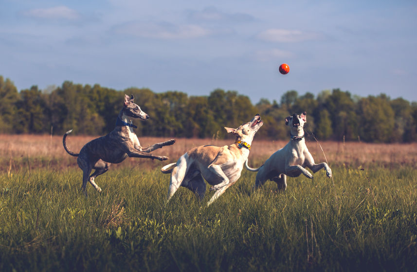 Whippet jouant