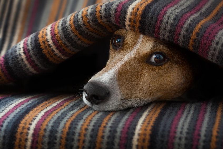 chien malade au repos