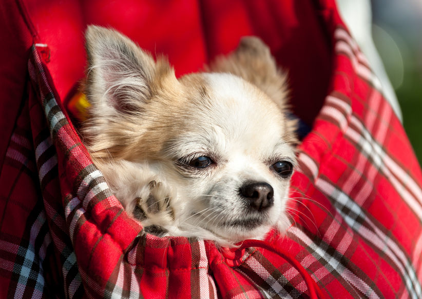 Chihuahua peinard