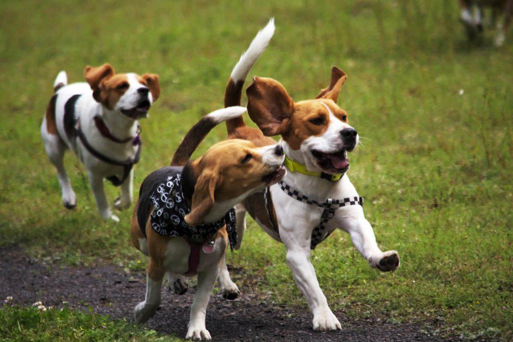 Plusieurs Beagle