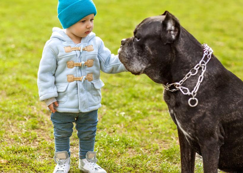 Chien Cane Corso avec enfant