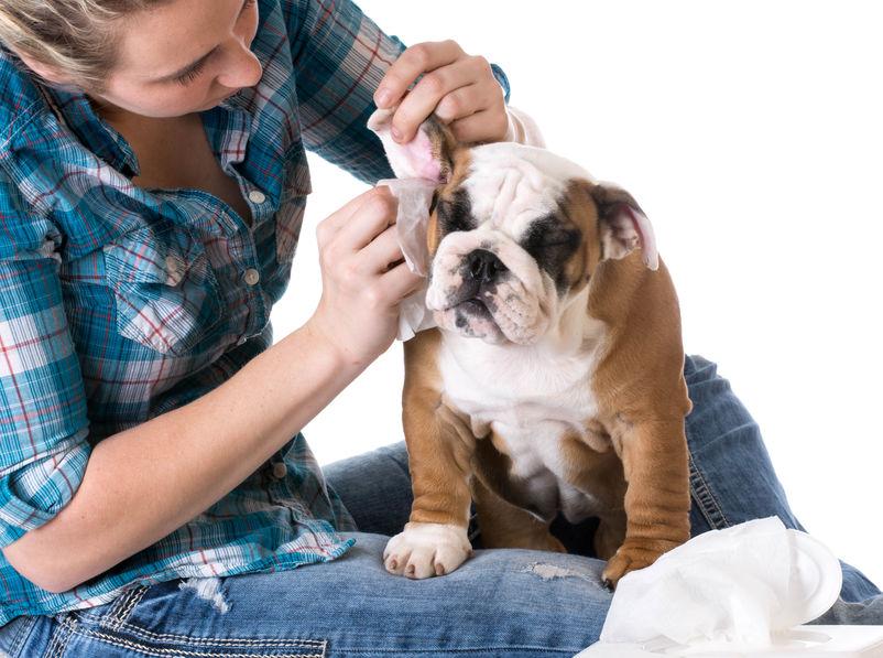 Soins du chien : Les oreilles