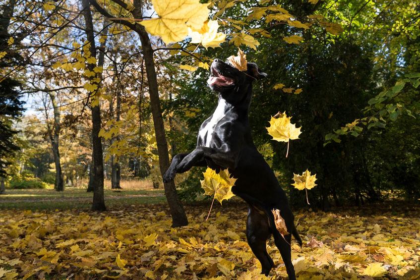 assimilable Mastiff