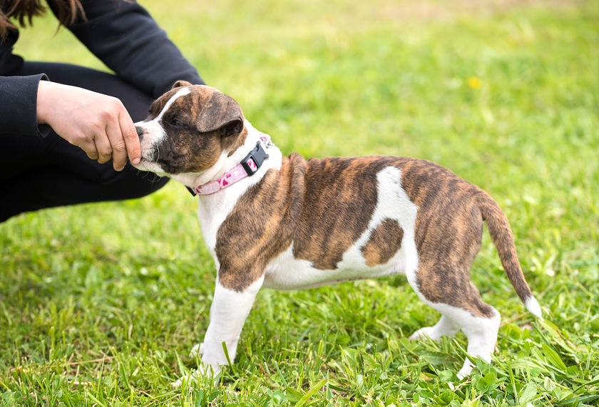 staffordshire terrier chiot