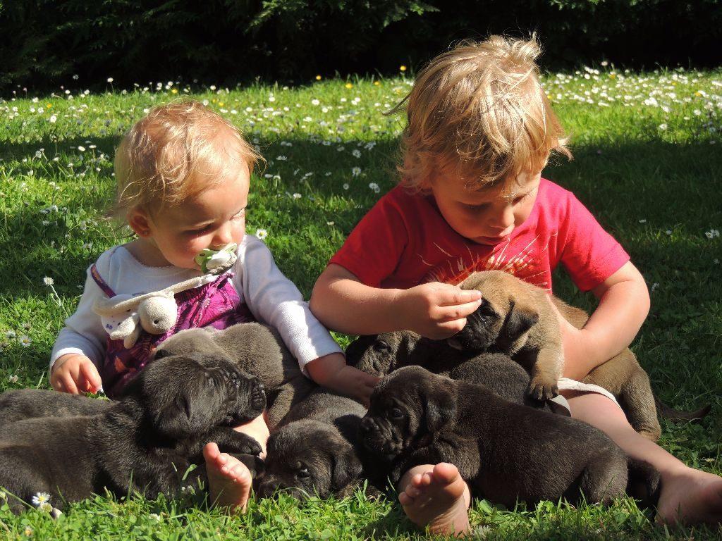 Cane Corso avec enfants