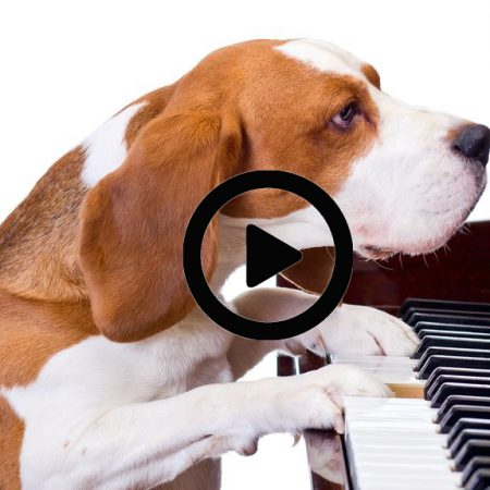 Chien jouant au piano Wouf Wouf