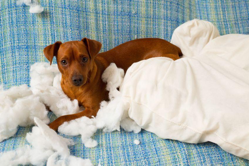 Chien qui détruit un oreiller
