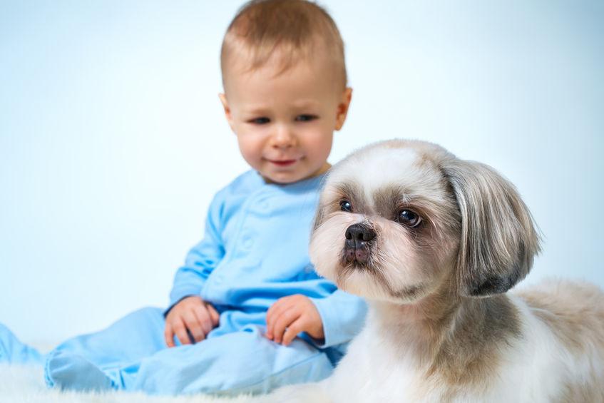 Shih tzu avec bébé