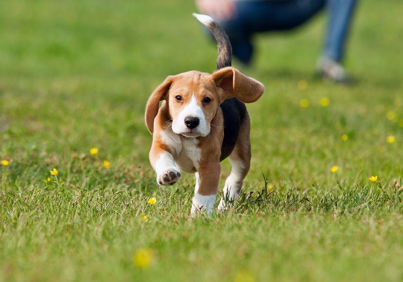 Chiot beagle sur la pelouse