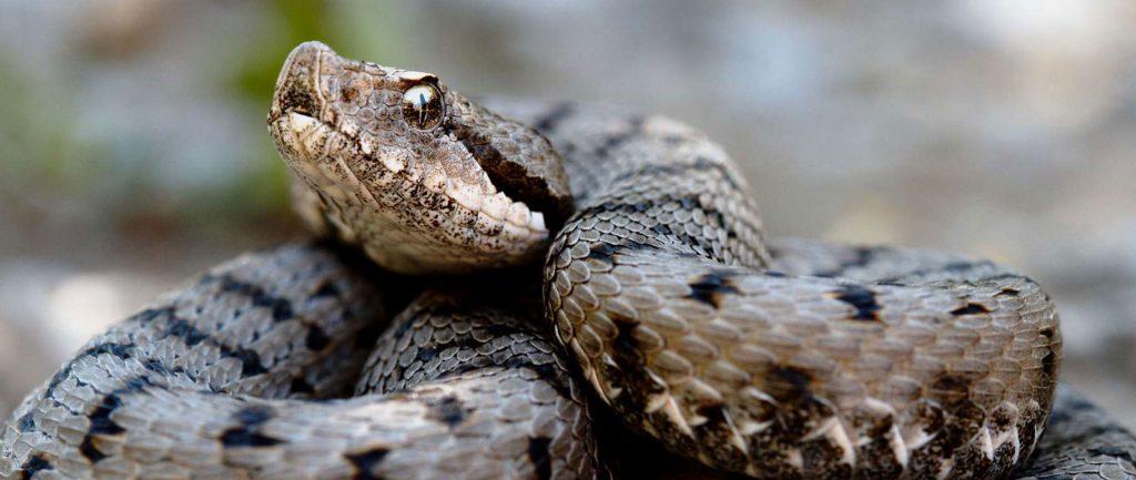 serpent, danger pour le chien