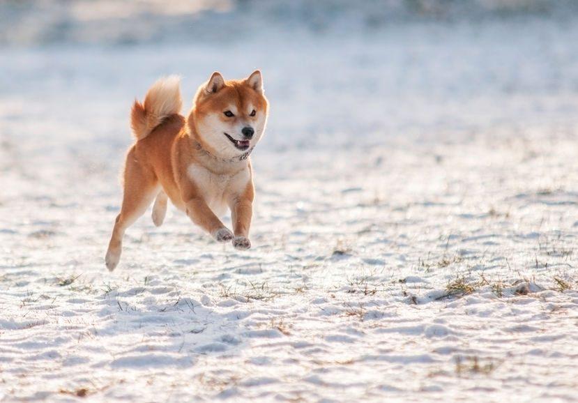 Shiba Inu courant dans la neige