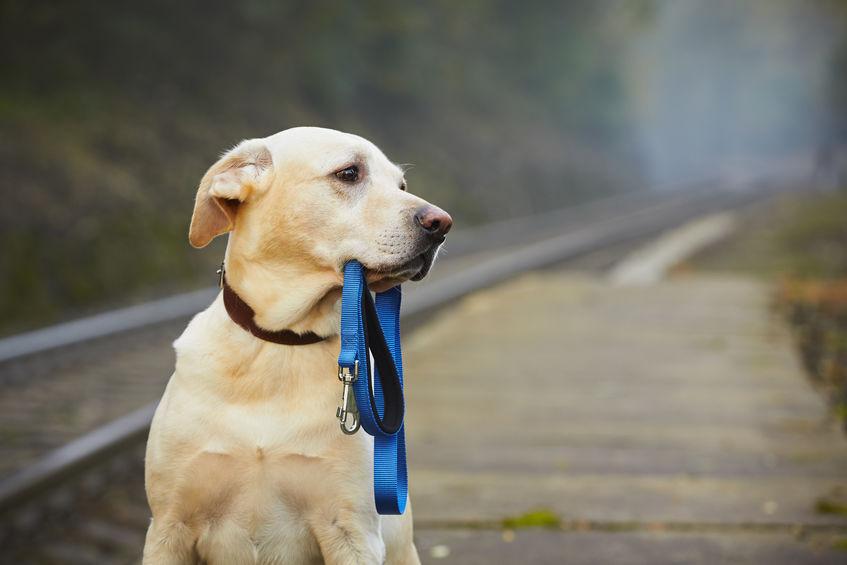 chien perdu avec sa laisse