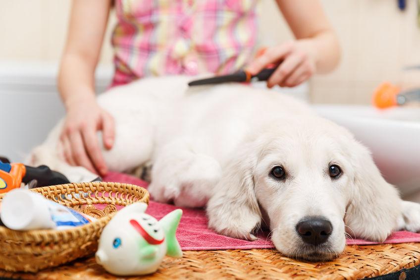 Labrador adolescent
