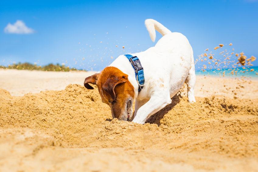 Jack Russel à la plage