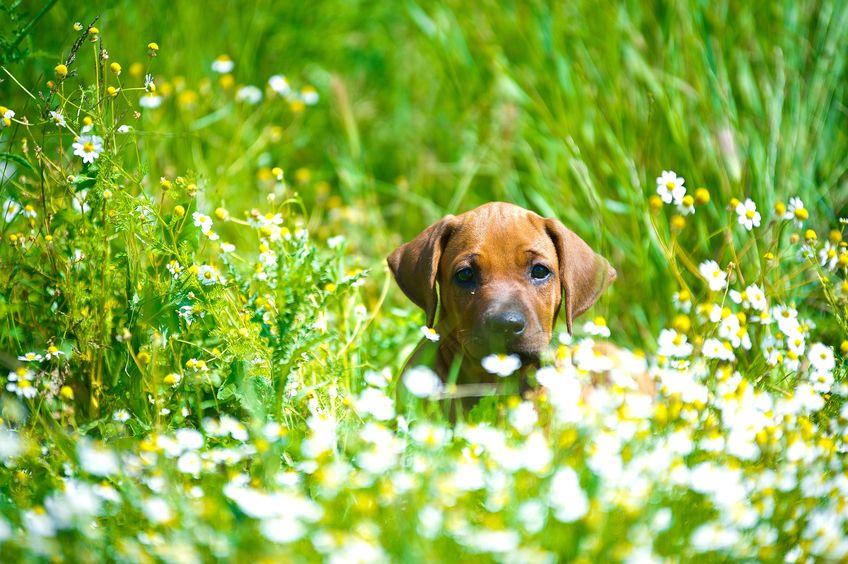 Chien dans le jardin fleuri