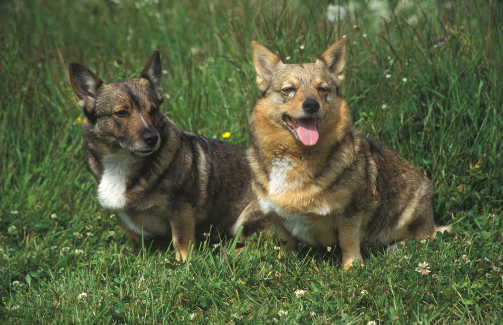 2 Vallhund