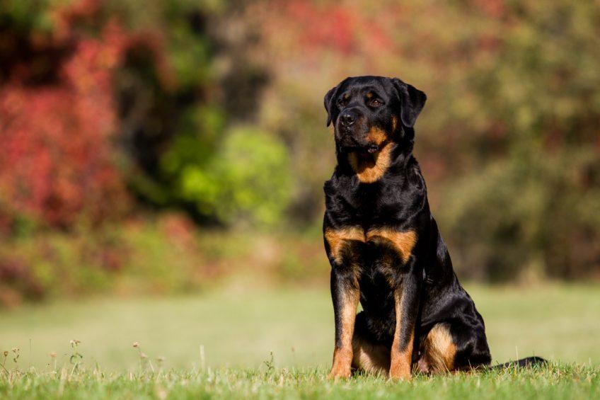 Rottweiler chien de catégorie 2