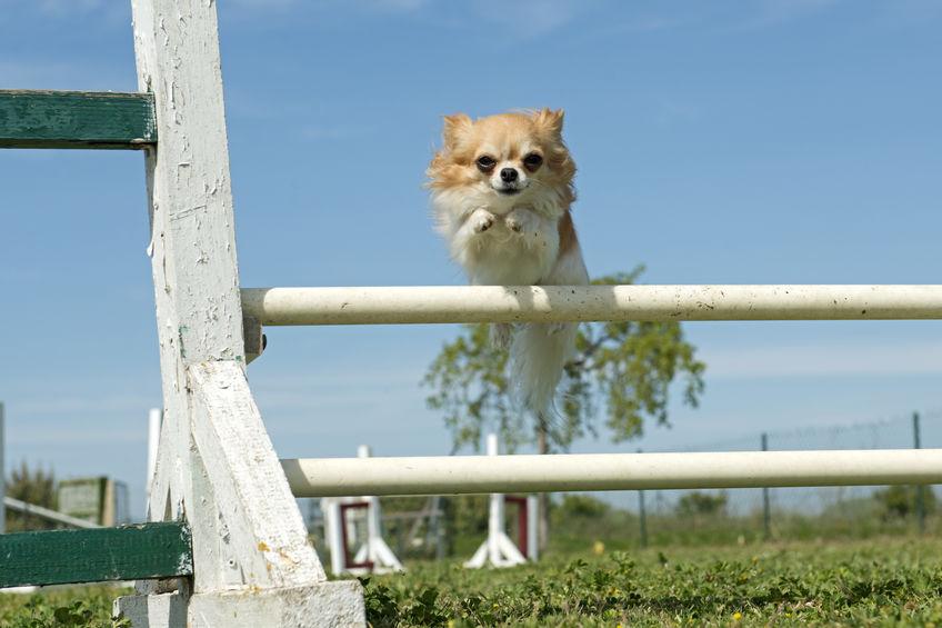 Chihuahua sautant une barrière