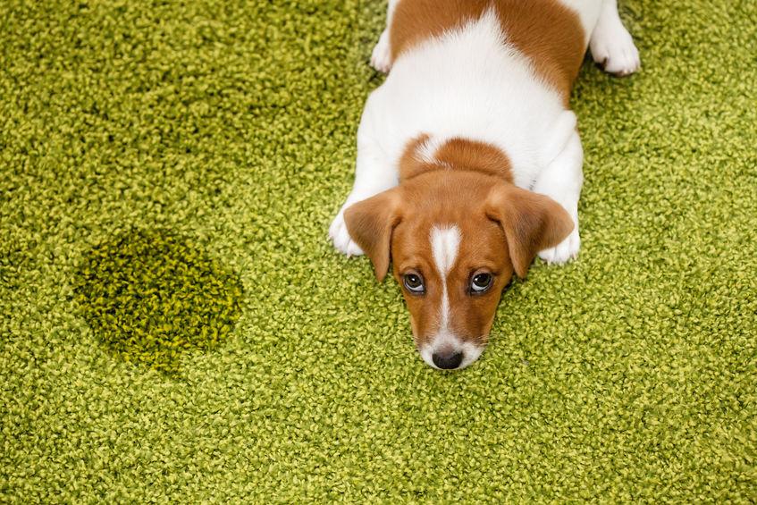 le marquage urinaire du chien