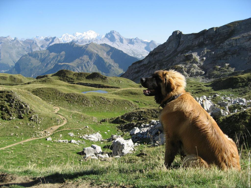 chien Leonberg Wouf Wouf