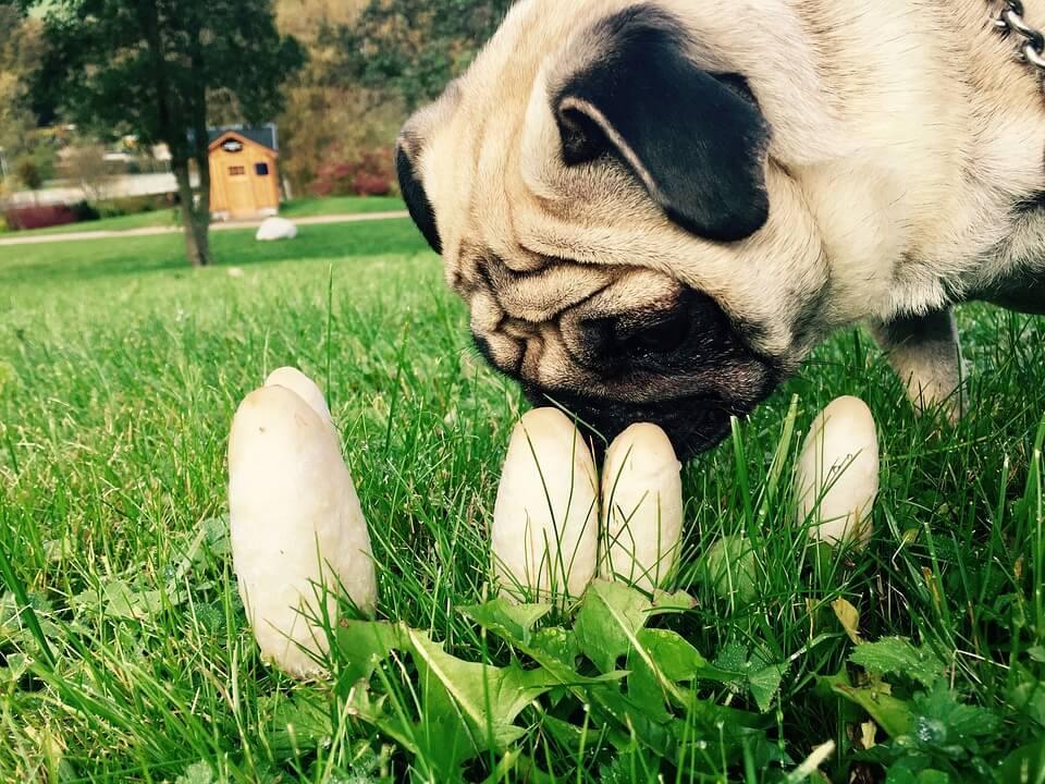 dangers de l'automne pour le chien : Le champignon
