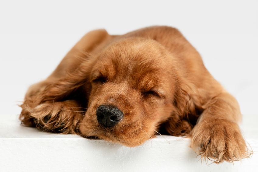 Cocker beige faisant la sieste
