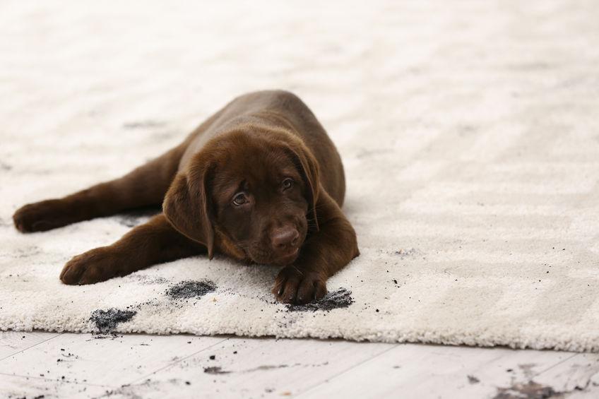 Le ménage comme inconvénients de la vie avec un chien