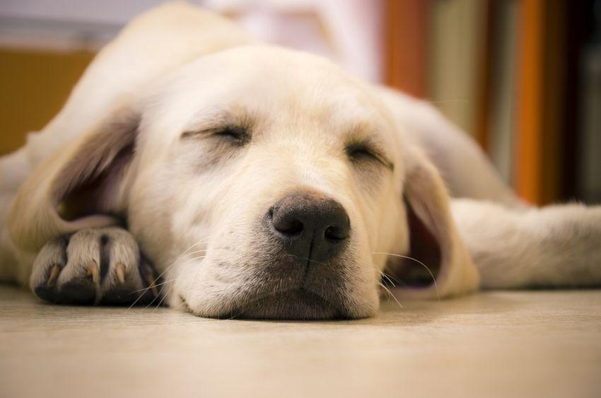sommeil d'un chien adulte wouf wouf