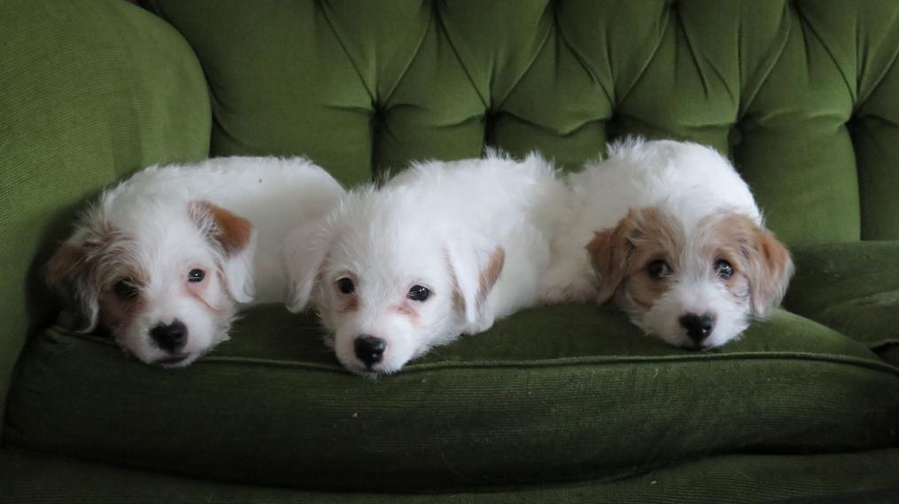 Chiots sur le canapé
