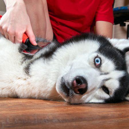 Brosse pour chien Husky