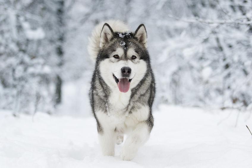 Husky durant l'hiver