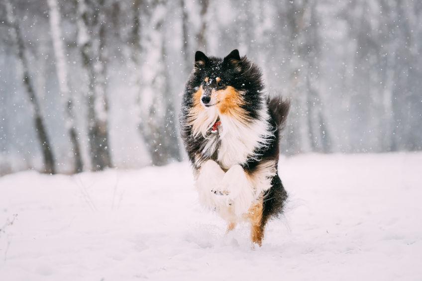 Shetland noir dans la neige