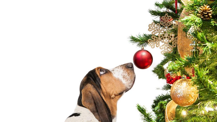 chien Basset devant une boule de sapin