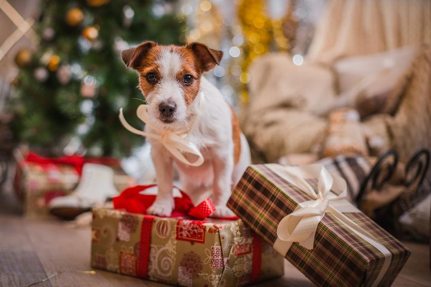 Jack Russel sur des cadeaux de noël
