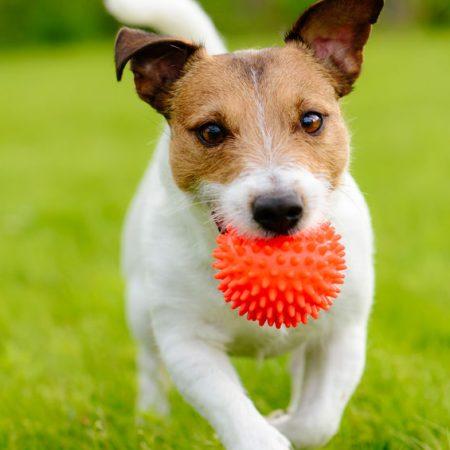 Jouer avec son chien Jack Russel