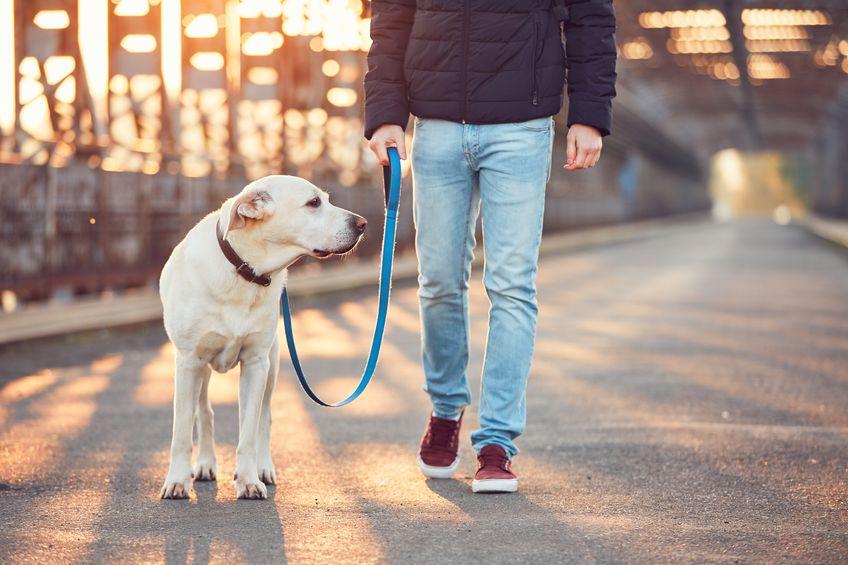Promenade d'un labrador dans la rue