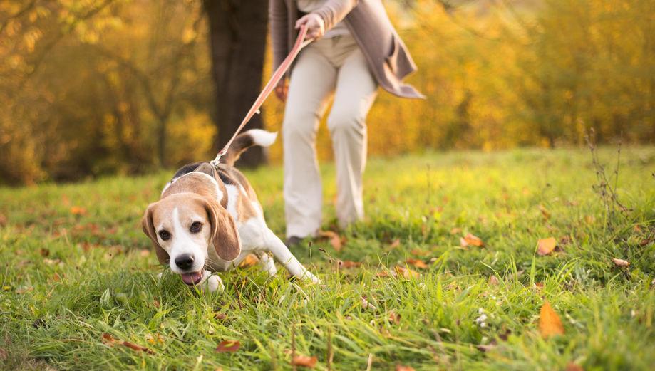 Apprendre la marche en laisse à mon chien
