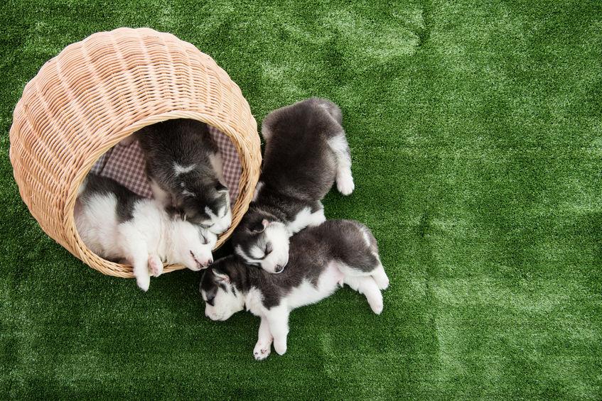 Bébé Husky chez un éleveur