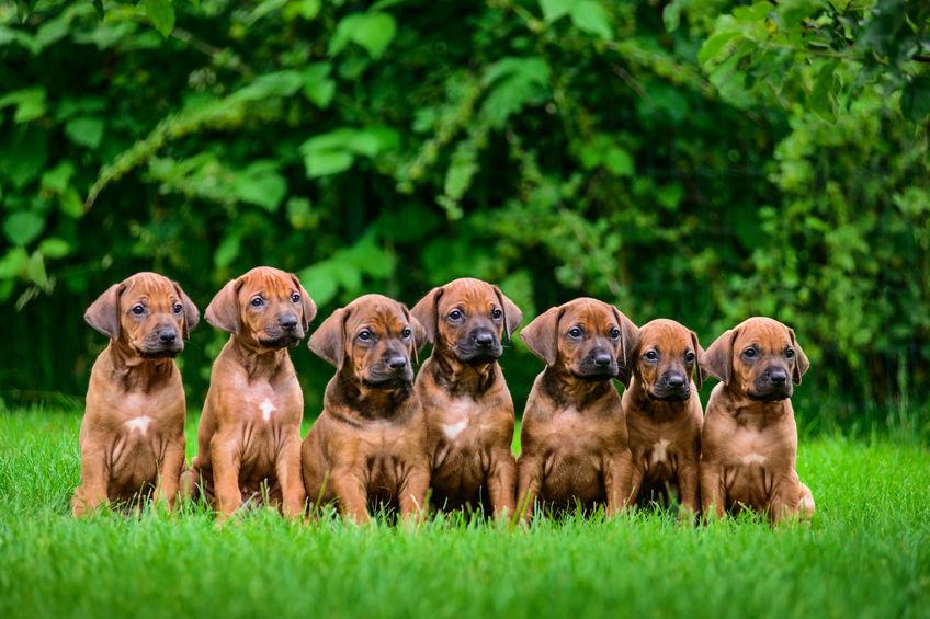 Trouver un bon éleveur de chiens