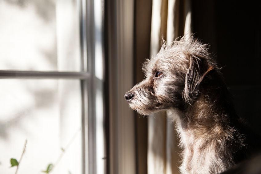 Chien WoufWouf regarde par la fenêtre