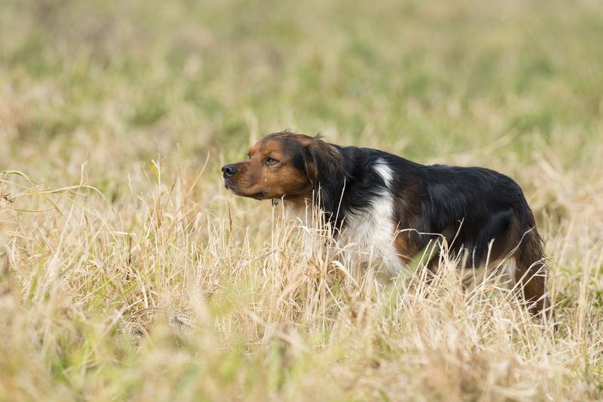 chien à la chasse