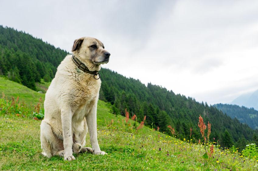 chien Kangal Wouf Wouf