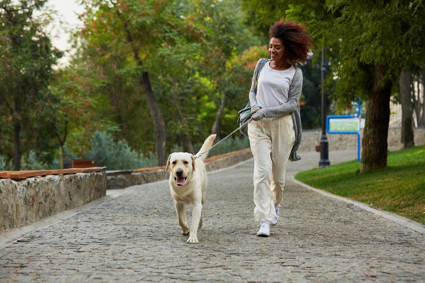Labrador avec dog sitter