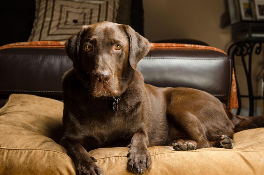Labrador sur un canapé