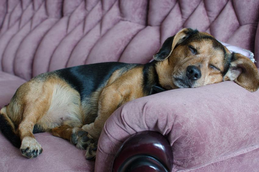 chien Wouf Wouf en pleine sieste