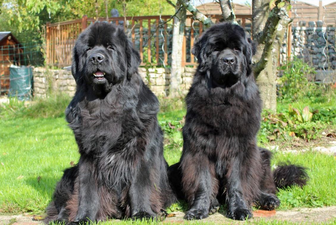2 Newfoundland Dog