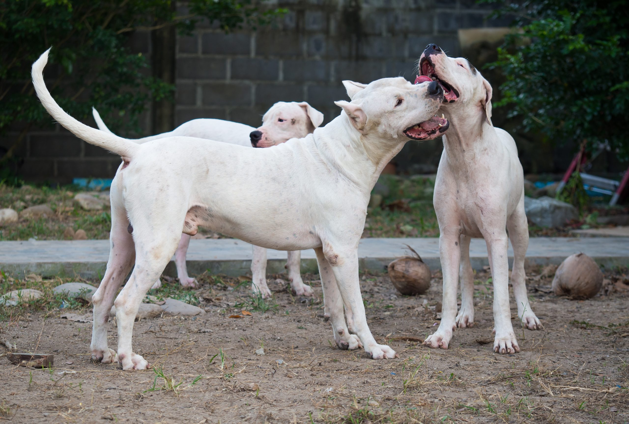 Plusieurs Dogue Argentin